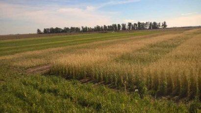 Los cultivos de cobertura resuelven más de 20 conflictos de manejo